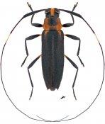 Pseudosparna flaviceps, ♀, Acanthocinini, French Guiana
