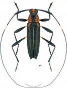 Pseudosparna flaviceps, ♂, Acanthocinini, French Guiana