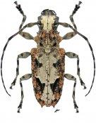 Steirastoma senex, ♀, Acanthoderini, Nicaragua
