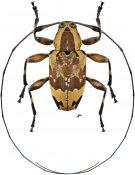Sympagus laetabilis ♂, Acanthocinini, Nicaragua
