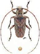 Tephrolamia bourbonia, ♂, Acanthocinini, Mauritius