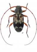 Urgleptes laticollis, ♀, Acanthocinini, Nicaragua