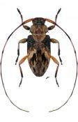 Urgleptes laxicollis ♂, Acanthocinini, Nicaragua