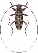 Urgleptes pareuprepes ♂, Acanthocinini, Nicaragua