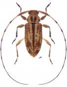Urgleptes pluristrigosus, ♀, Acanthocinini, Nicaragua