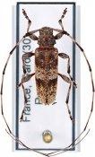 Acanthocinus griseus, ♂, Acanthocinini, France