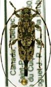 Acanthocinus pusillus, ♀, Acanthocinini, Quebec