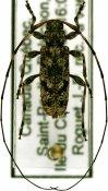 Acanthocinus pusillus, ♂, Acanthocinini, Quebec