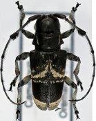 Acridoschema ligatum albosignatum ♀, Acmocerini, Cameroon