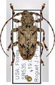 Aegomorphus modestus, ♀, Acanthoderini, South East United States