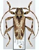 Aegoschema moniliferum, ♂, Acanthoderini, French Guiana