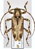 Aegoschema moniliferum, ♀, Acanthoderini, French Guiana