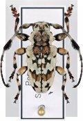 Anasillus crinitus ♂, Acanthoderini, Peru