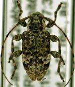 Astylopsis macula ♂, Acanthocinini, Quebec