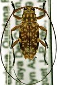 Atrypanius polyspilus, ♀, Acanthocinini, Quintana Roo
