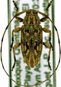 Atrypanius haldemani, ♀, Acanthocinini, Quintana Roo