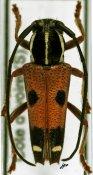 Glenea leucospila, ♂, Saperdini, Ivory Coast