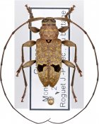 Hylettus coenobita, ♂, Acanthocinini, French Guiana