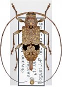 Hylettus coenobita, ♀, Acanthocinini, French Guiana
