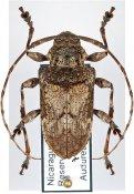 Lagocheirus simplicornis ♀, Acanthocinini, Nicaragua