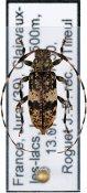 Leiopus nebulosus nebulosus, ♀, Acanthocinini, France