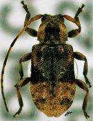 Leptostylus ♂, Acanthocinini, Mexico