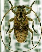 Leptostylus sp., ♀, Acanthocinini, Mexico