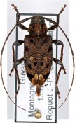 Oedopeza apicalis, ♀, Acanthocinini, French Guiana
