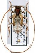 Pseudaethomerus lacordairei, ♂, Acanthoderini, French Guiana