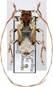 Pseudaethomerus lacordairei, ♀, Acanthoderini, French Guiana