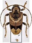 Trypanidius andicola, ♂, Acanthocinini, Peru