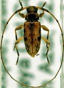 Urgleptes fasciatus, ♂, Acanthocinini, Quintana Roo