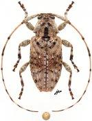Eleothinus sp., ♀, Acanthocinini, Quintana Roo