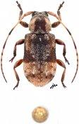 Alphinellus minimus, ♂, Acanthocinini, Quintana Roo
