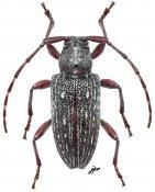 Aderpas brunneus, ♀, Aderpasini, Gabon