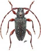 Aderpas brunneus, ♂, Aderpasini, Gabon