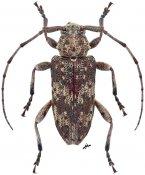 Aderpas congolensis quadricostatus, ♀, Aderpasini, Mozambique