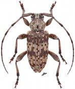 Aderpasini • Aderpas congolensis quadricostatus • ♂