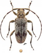 Aderpas lineolatus subfasciatus, ♀, Aderpasini, Cameroon