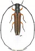 Anauxesida camerunica, ♀, Agapanthiini, Gabon