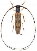 Anauxesis sp., ♂, Agapanthiini, Gabon