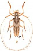 Hippocephala fuscostriata, ♂, Agapanthiini, Malayan Peninsula