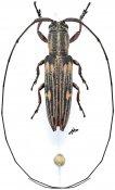 Hippopsicon ochreomaculatum, ♂, Agapanthiini, Gabon