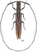 Hippopsis ocularis, ♀, Agapanthiini, French Guiana