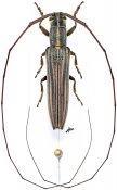Hyllisia imitans, ♂, Agapanthiini, Gabon