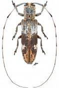 Phelipara saigonensis, ♀, Agapanthiini, Thailand