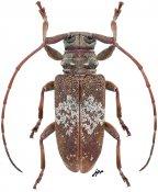 Ancylonotopsis albomarmoratus, ♀, Ancylonotini, Central Africa R.