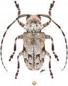 Cnemolia sp., ♀, Ancylonotini, Ivory Coast