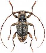 Dorcoeax ovalis, ♂, Ancylonotini, Gabon