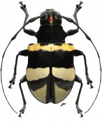 Gounellea bruchi ♀, Anisocerini, Rondônia
